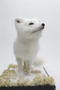 Arctic Fox - Climate Control