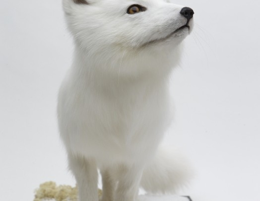 Arctic Fox - Manchester Museum commission